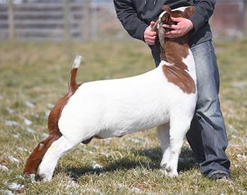 Miller Boer Goats :: Sires